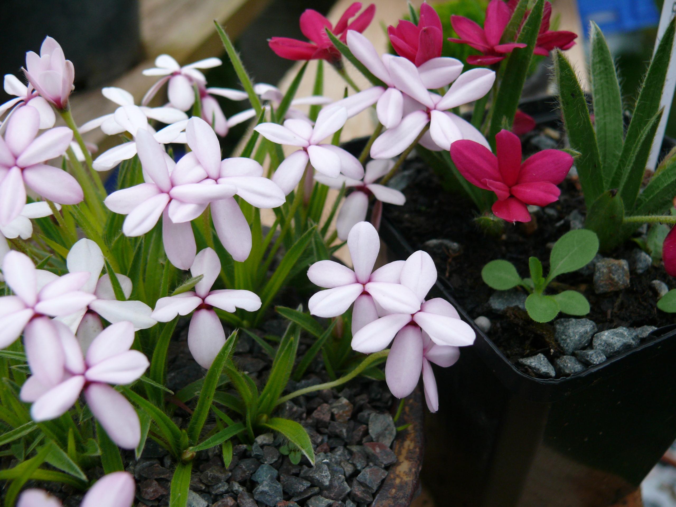 plantes d'accent faite à partir de rhodohypoxis