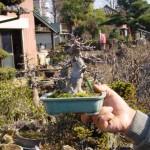 Ilex serrata, un bonsai peu courant mais attirant