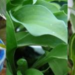 Soldanella et autres plantes venues d'Irlande du Nord