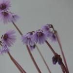 Vivaces à échanger pour le printemps 2013