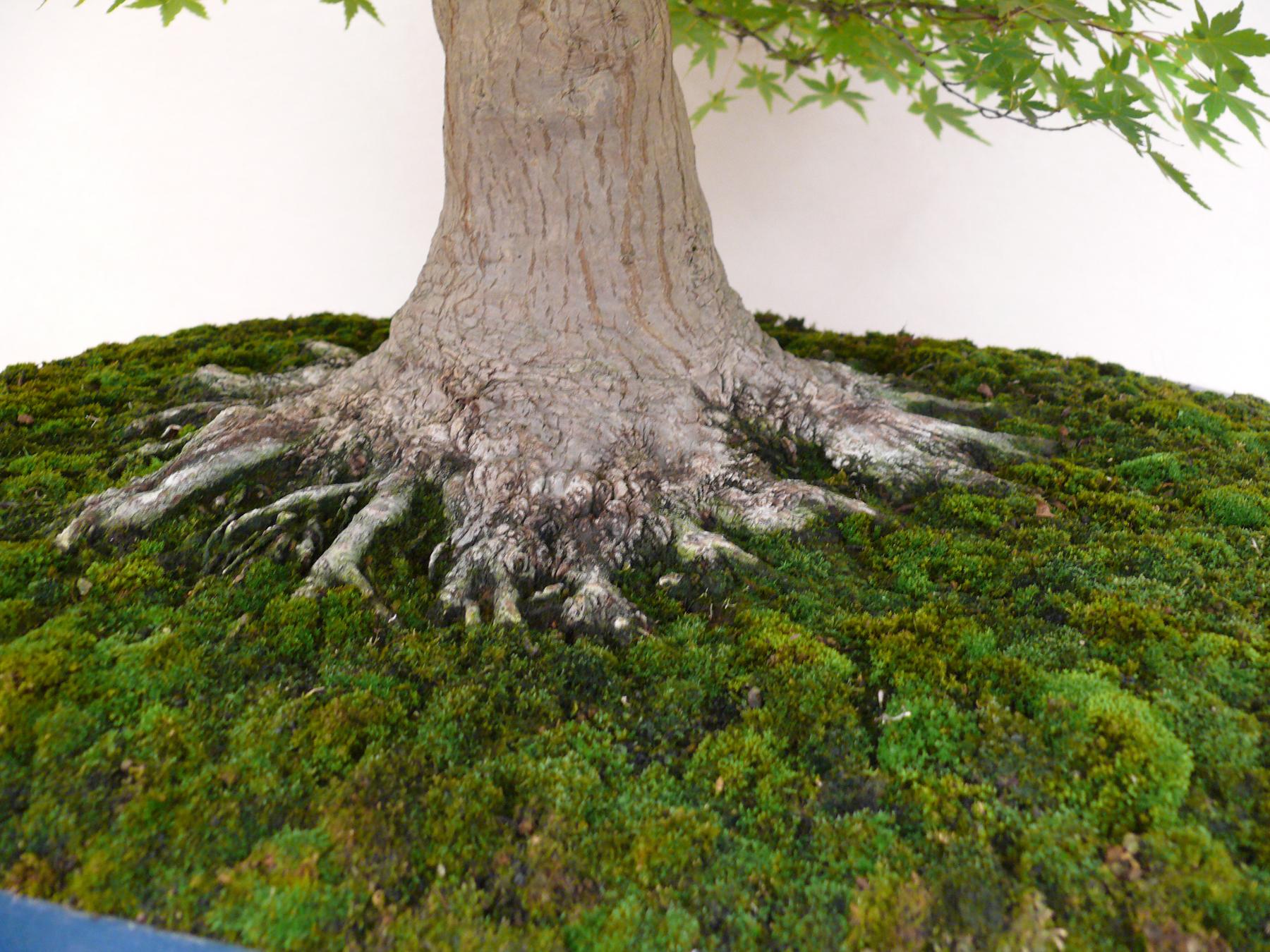 Les amateurs de bonsai aiment se faire une petite mousse petit arbre - Mousse sur les arbres ...