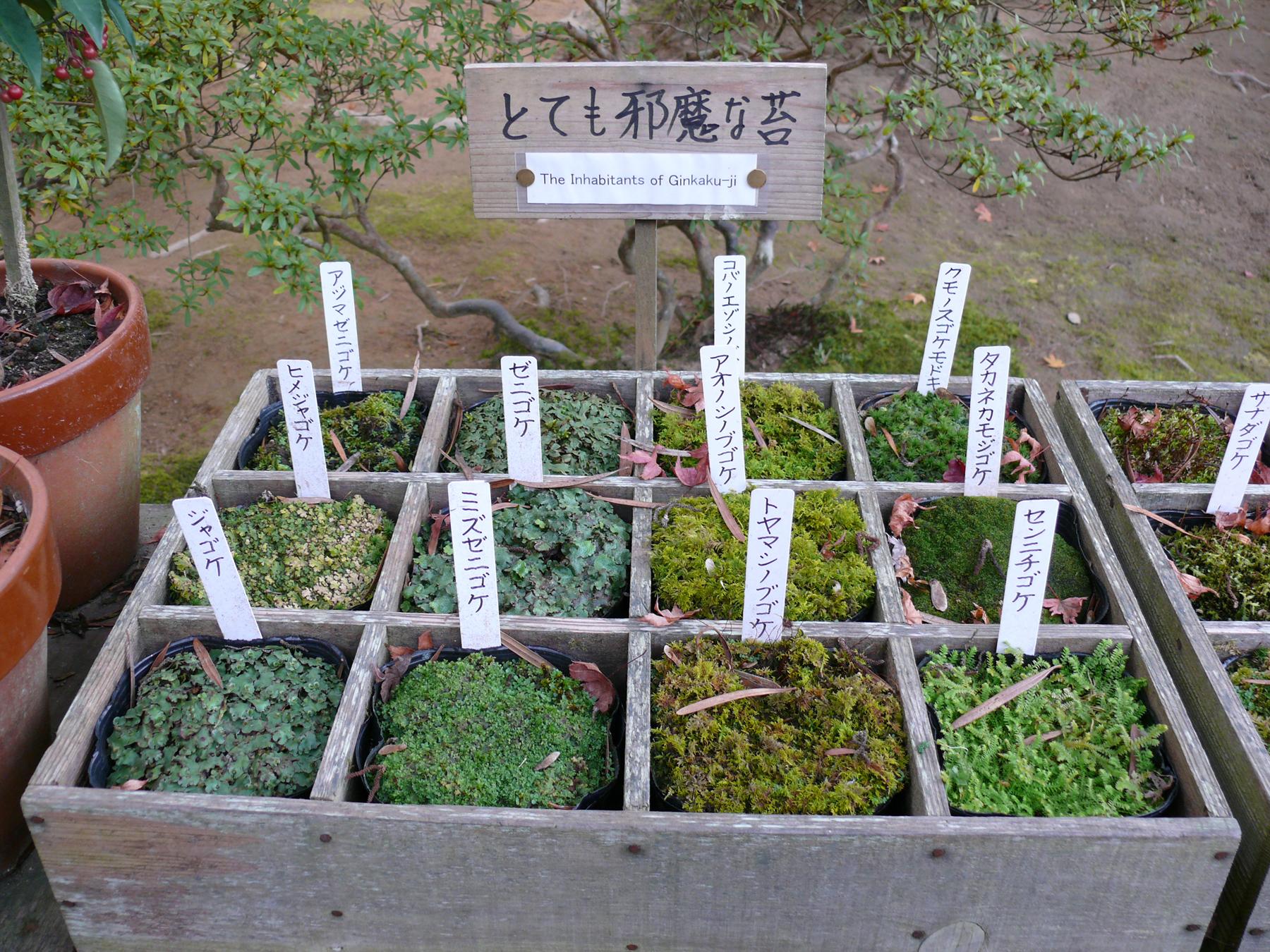 Mousses dans le jardin japonais de Ginkaku-ji a Kyoto