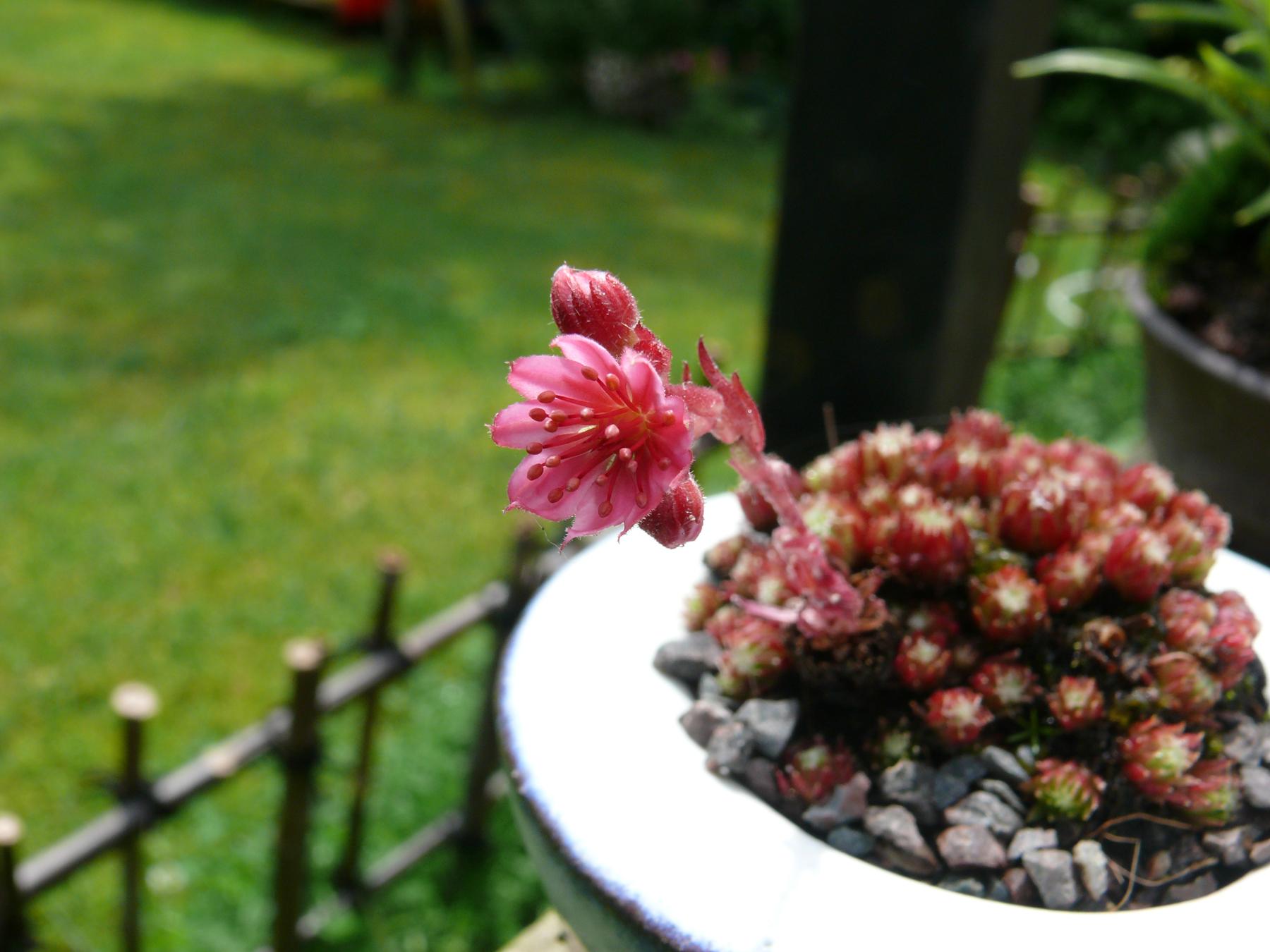 joubarbe en fleurs