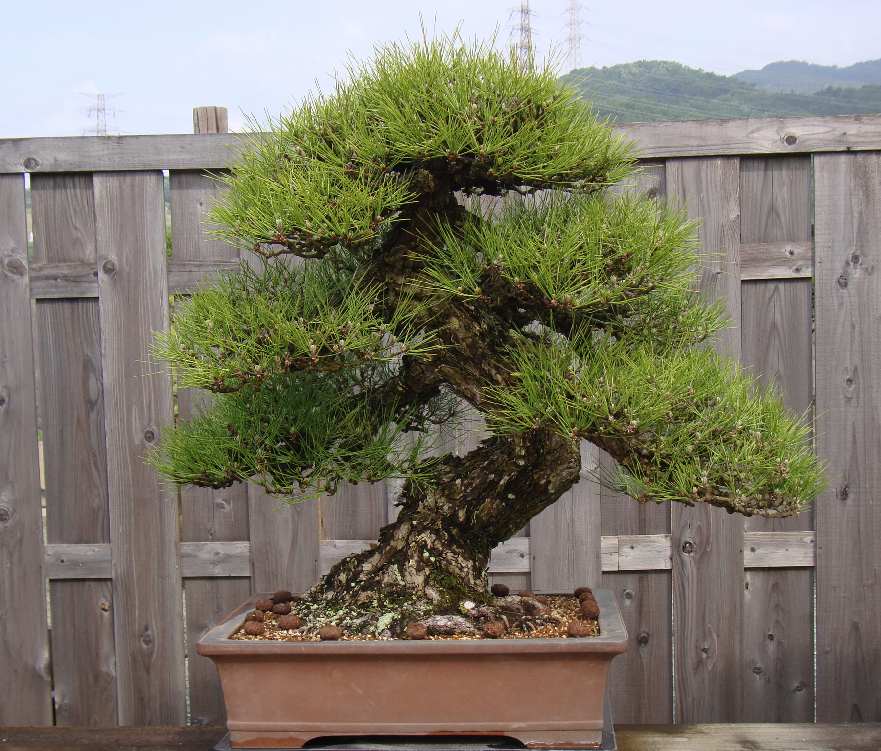 Bonsai de Shiino Kentaro
