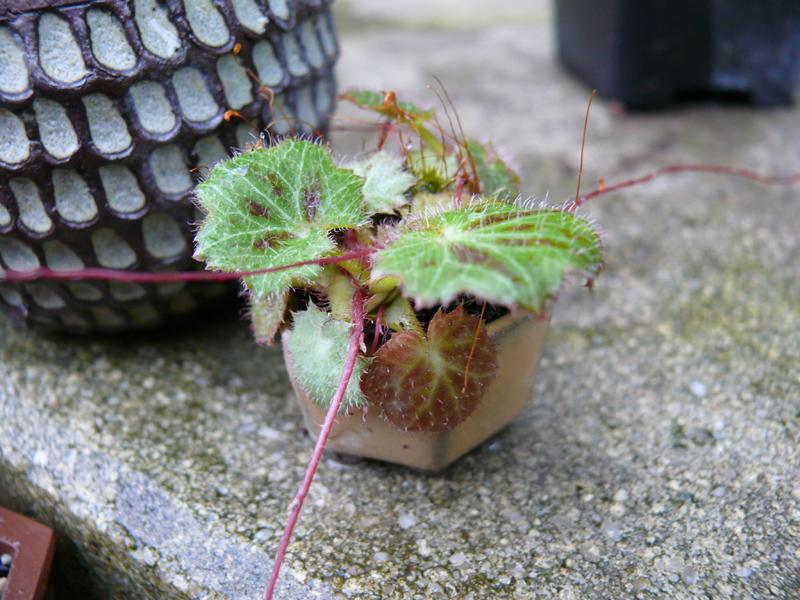 saxifrage en mini kusamono
