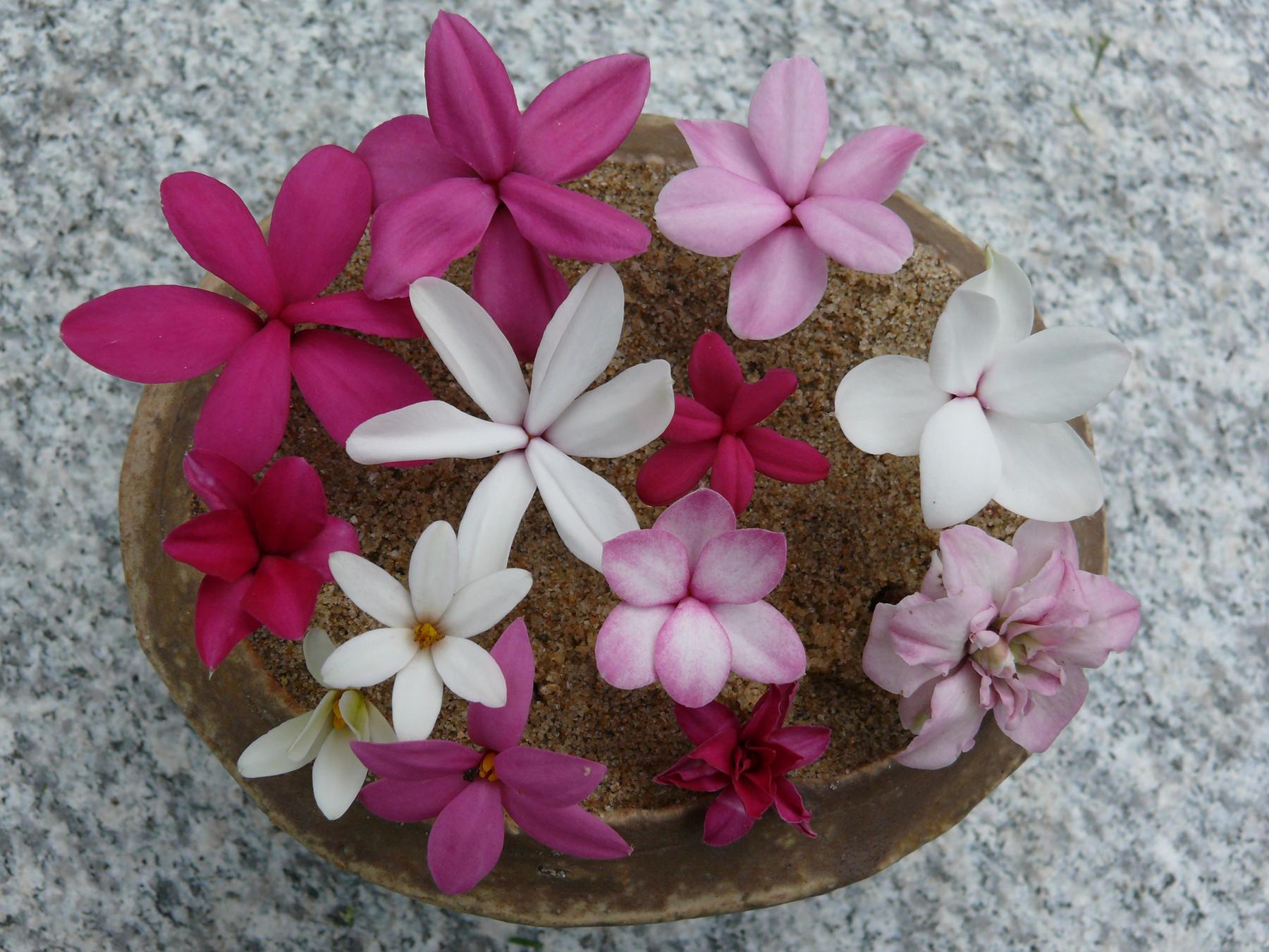 fleurs de Rhodohypoxis