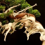 Saxifrage fortunei en fleurs