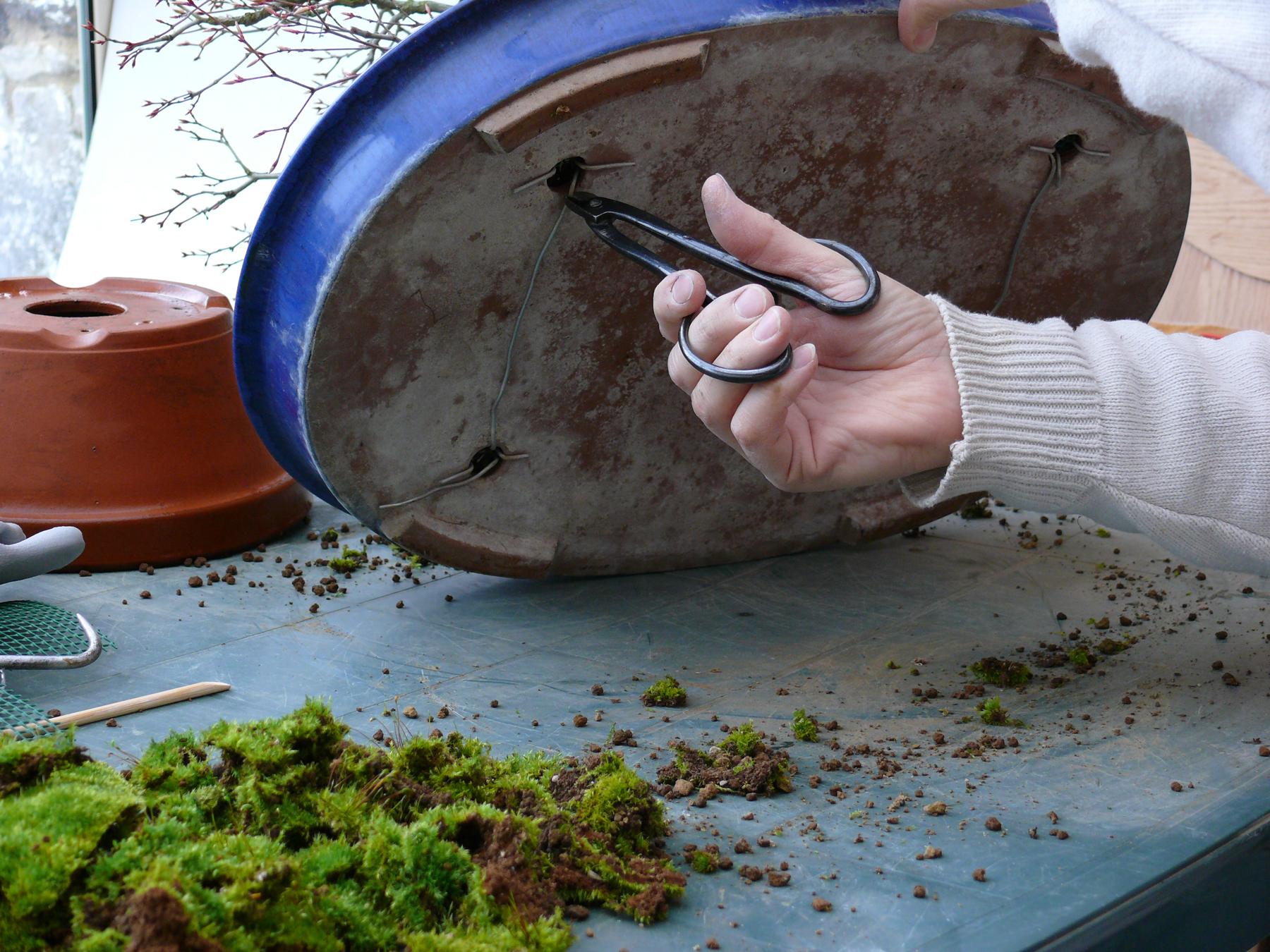 Pourquoi fixer un bonsai à son pot ?
