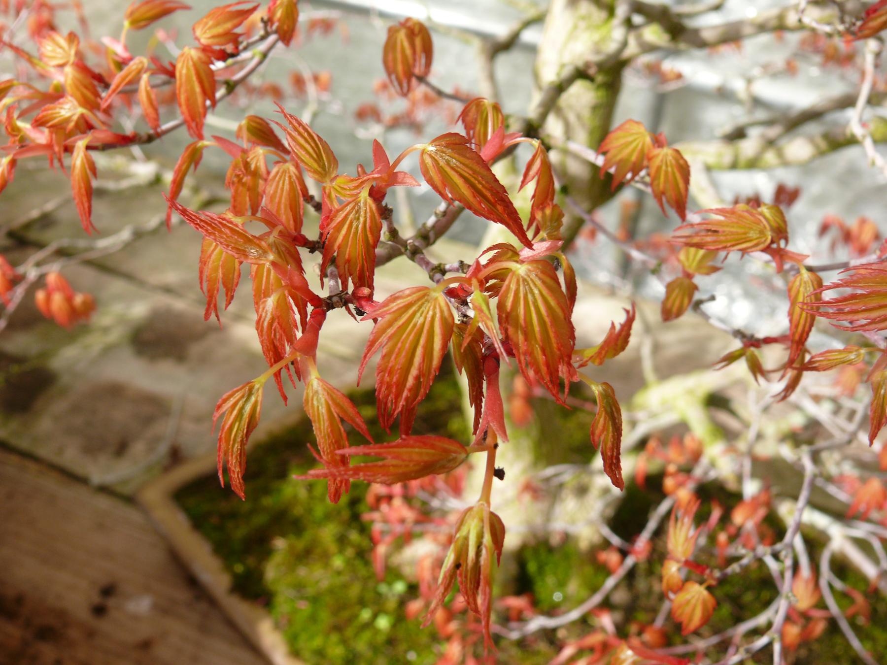 Erable japonais au printemps