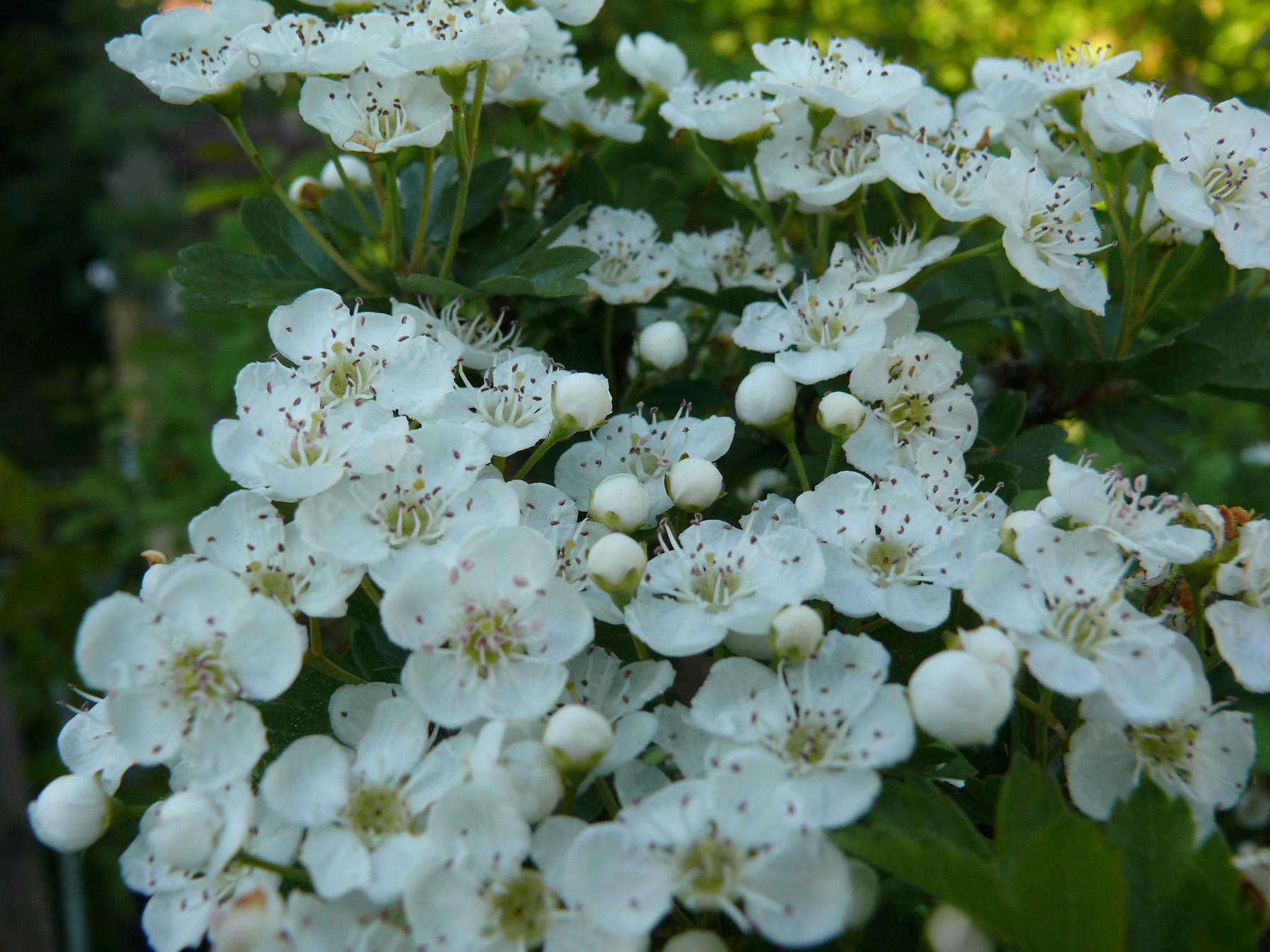 floraison de crataegus