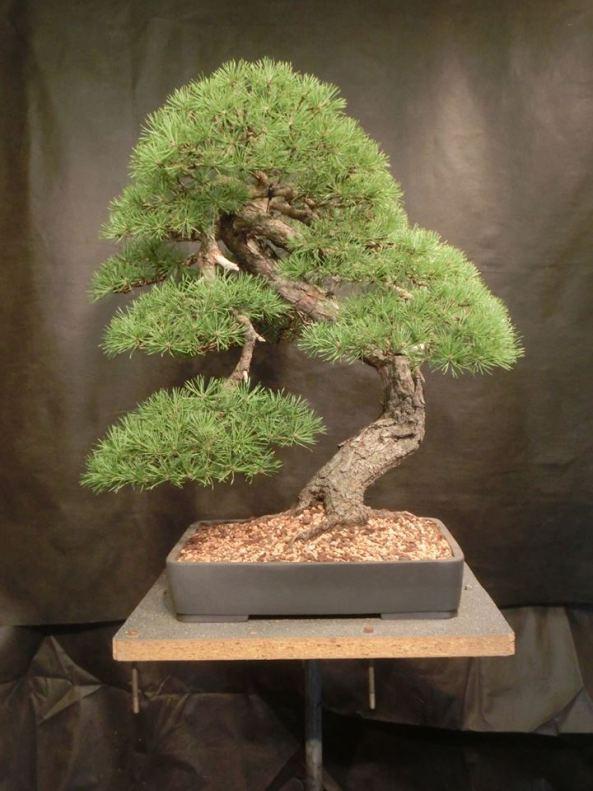 bonsai volé