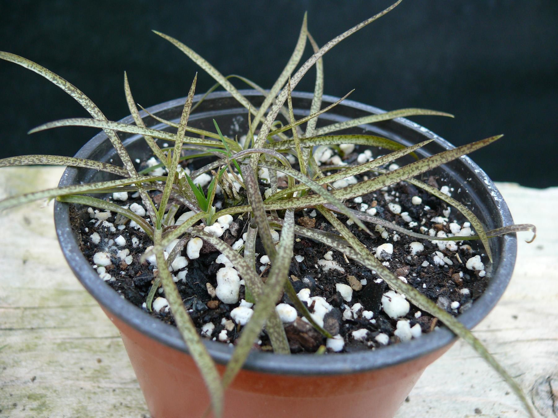 Arthropodium candidum purpureum