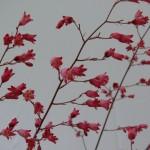 floraison d'Heuchère