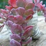 feuilles charnues de sedum sieboldii à l'automne