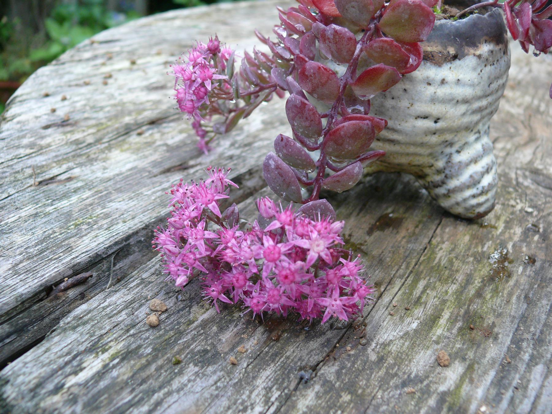 Sedum sieboldii en fleurs
