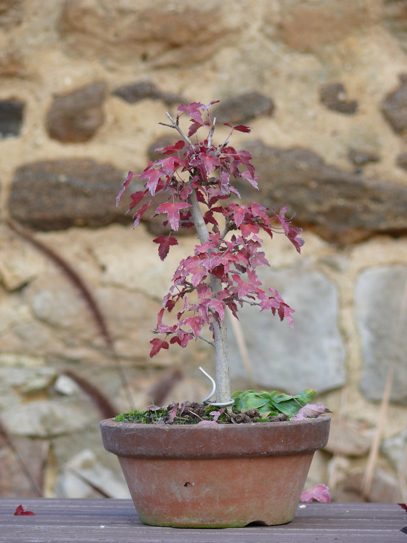 Acer buergerianum en automne