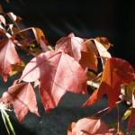 Taille d'automne en pratique