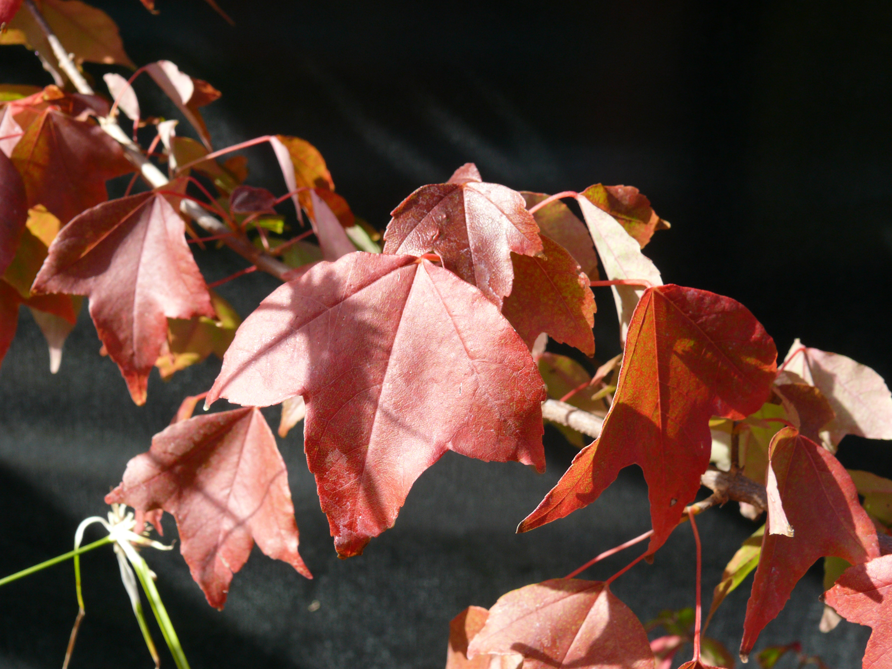Acer buergerianum autumnal leaves
