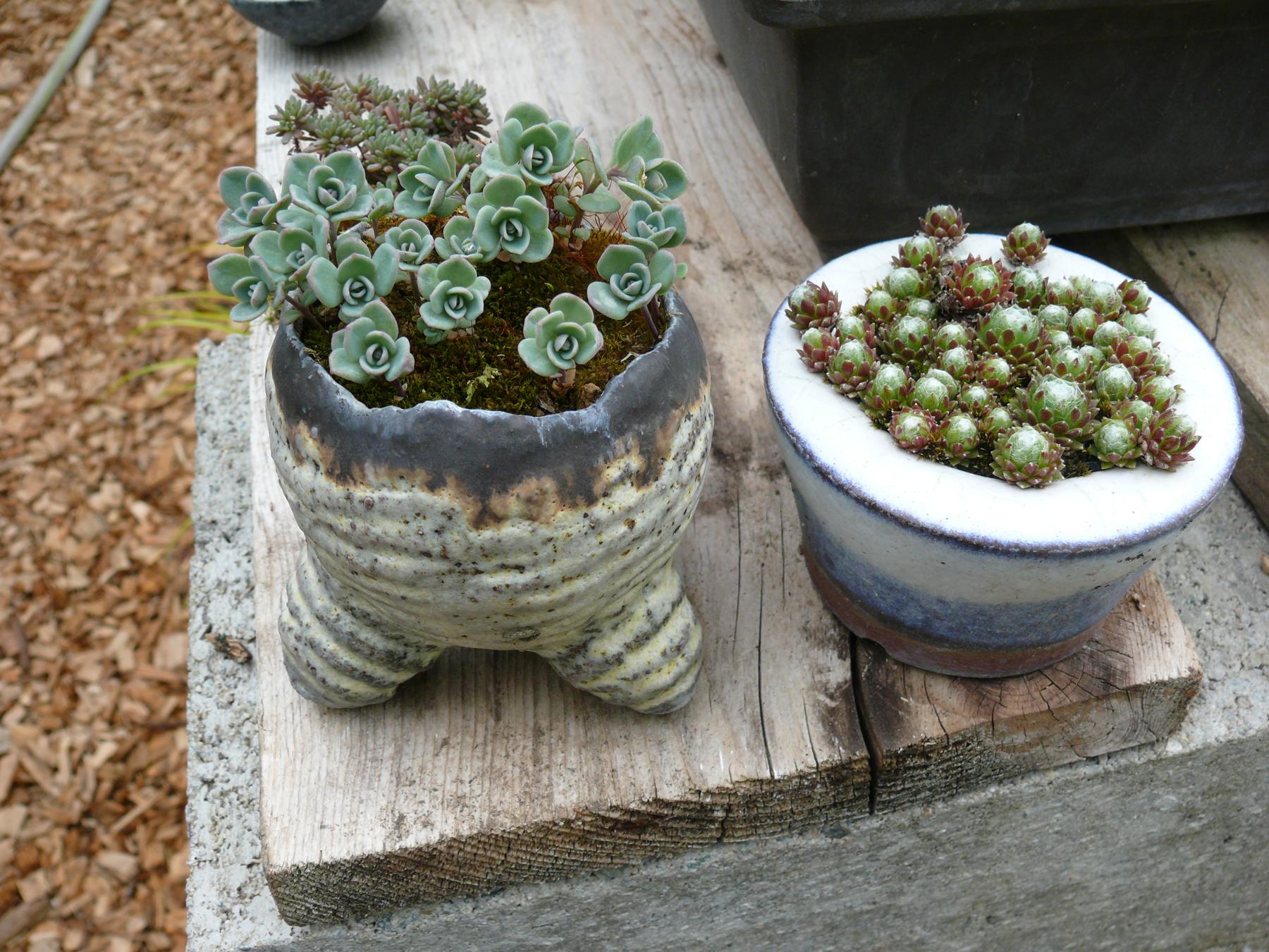Sedum sieboldii dans un pot de Horst Heinzlreiter